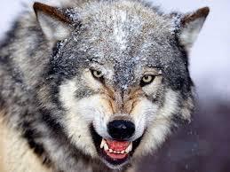 wolf snarl.jpg